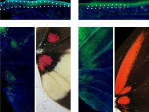 Butterfly wing patterns