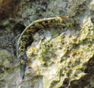 The Pacific leaping blenny