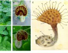 18. White-veined Dutchman's pipe (Aristolochia fimbriata) genotype and perianth detail.Glass model (E) by Leopold and Rudolph Blatschka made near Dresden, Germany illustrated by Fritz Kredel (reproduced with permission)