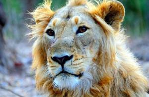 Male Asiatic lion. Kbhargava, Wikipedia, CC 3.0