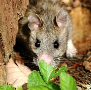 A bushy-tailed woodrat. Picture credit Oregon Caves