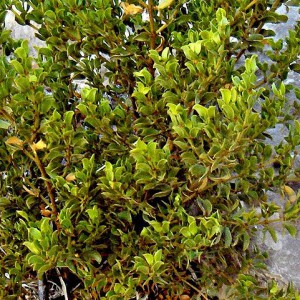 Creosote leaves. picture credit Homer Edward Price