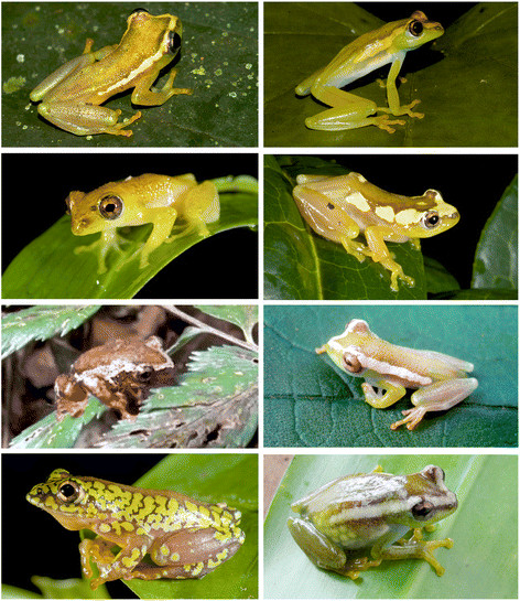 Colour patterning of spiny throated reed frogs