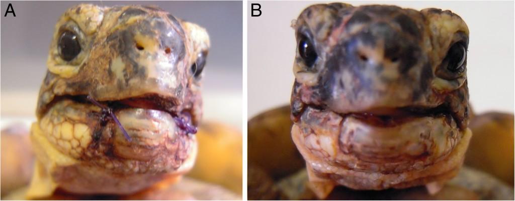 Rinaldi et al. BMC Veterinary Research 2013