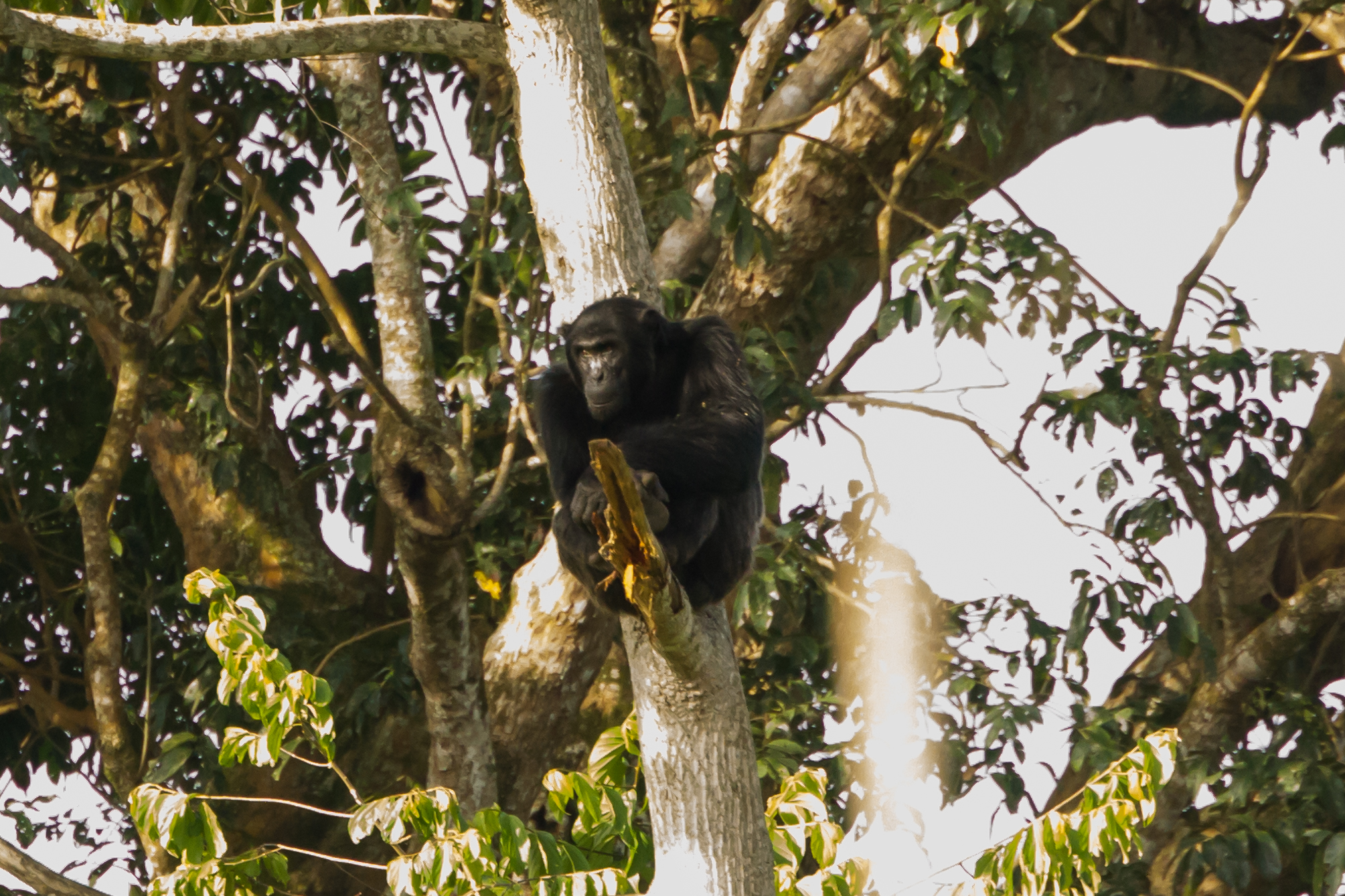 The adult male chimpanzee we called Caesar looks toward a farm from the forest edge. The tree he sits in was logged some days later.