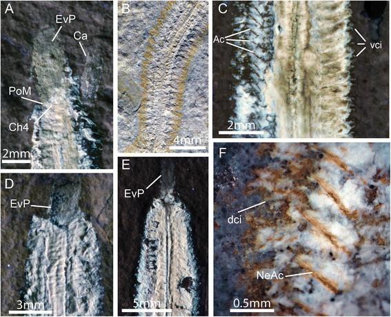 fireworm myoanatomical features