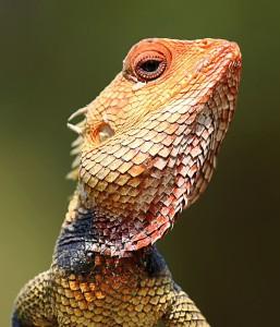 A Calotes garden lizard