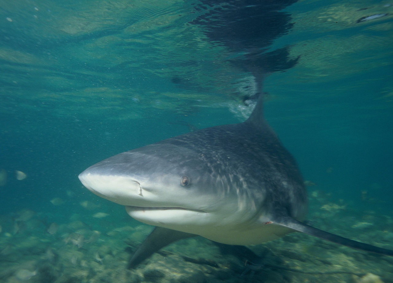 A bull shark, one of the placental requiem sharks sampled in the study.