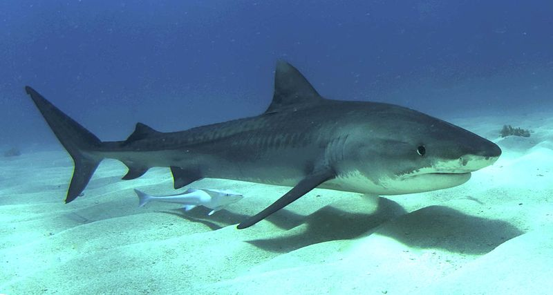 Juvenile tiger shark, photographed in the Bahamas