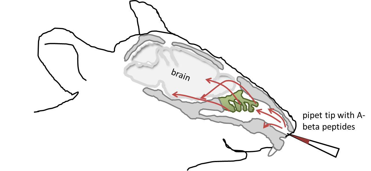 Transnasal application of A-beta peptides: Peptides were administered via the nosal cavity using a pipet tip. E.g. by passing the olfactory epithelium (green), peptides quickly enter the brain and influence behavior via a yet unraveled mechanism.