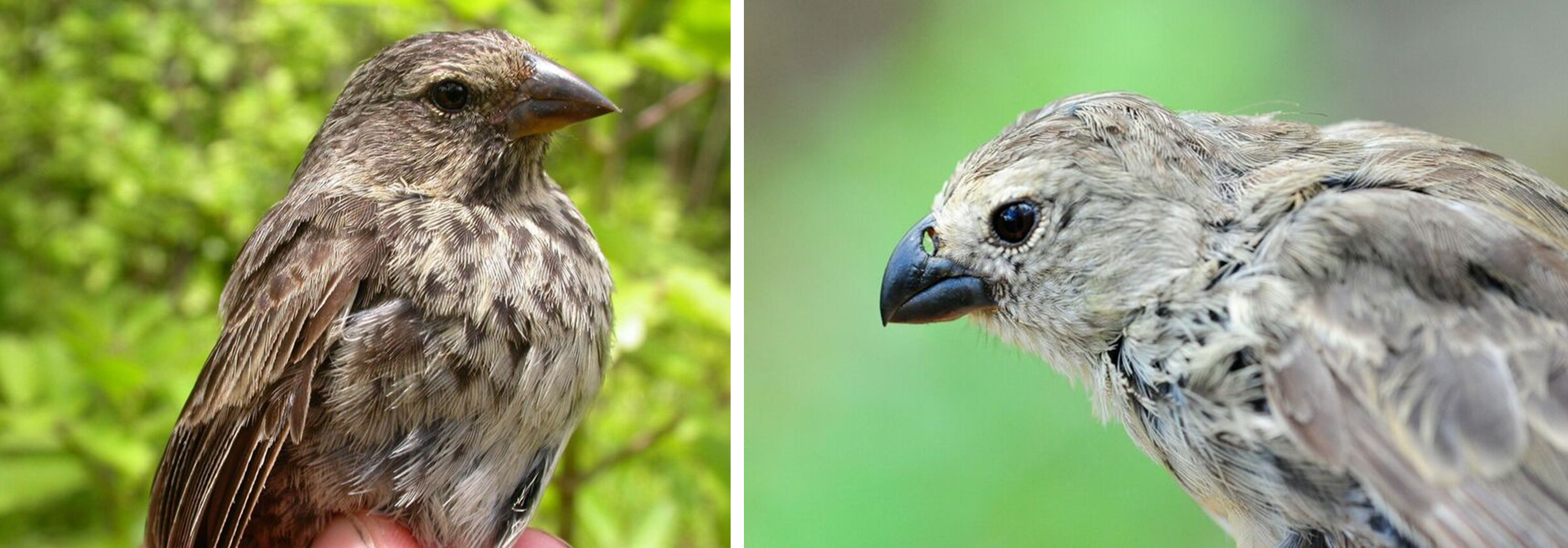 Comparative images show the beaks of a normal adult finch (right) and a survivor of P. Downsi infestation (left). Note the enlarged nostrils of the survivor. Photos by S. Kleindorfer and K.J. Peters.