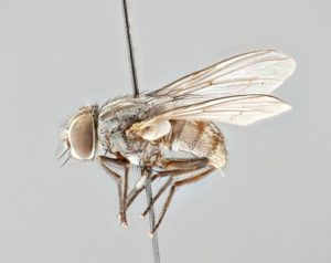 The parasitic fly P. Downsi. Lateral view of an adult female. Photo by B. Sinclair.