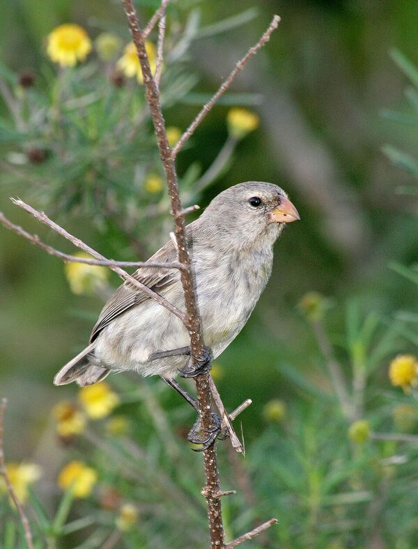 Darwin's finch in the Galapagos Islands. Image by F.J. Sulloway.
