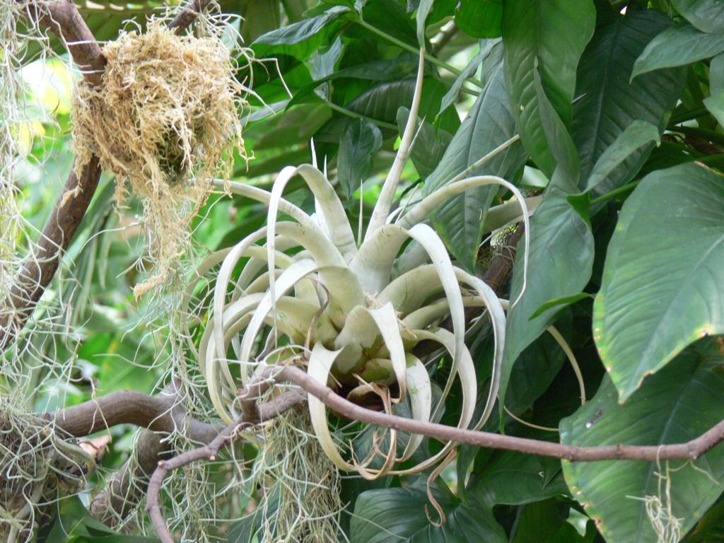An epiphytic bromeliad