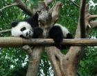 giant-panda-1878573_1920