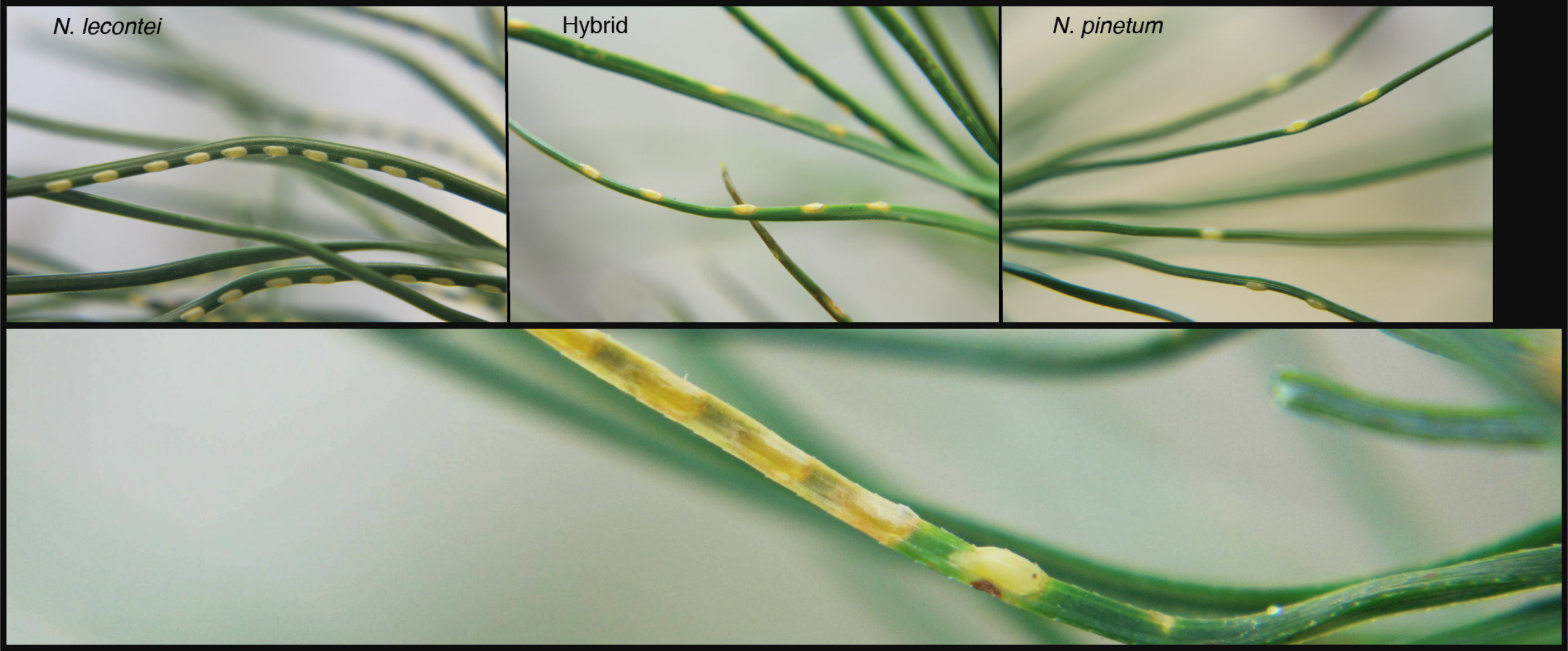 N. lecontei (top-left) females lay many closely spaced eggs per needle. N. pinetum (top-right) females lay few widely spaced eggs. Hybrid (top-middle) females have an intermediate egg laying pattern. Bottom image shows a single developing N. lecontei egg on white pine. The rest of the eggs on the needle have dried out and died