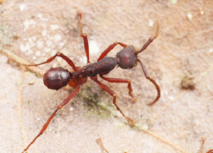 Beetle traveling with ant