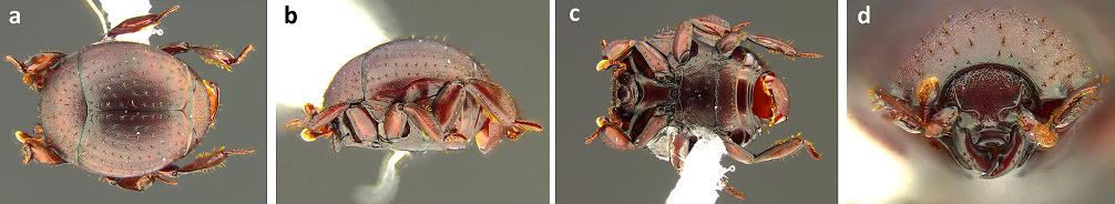 beetle morphology