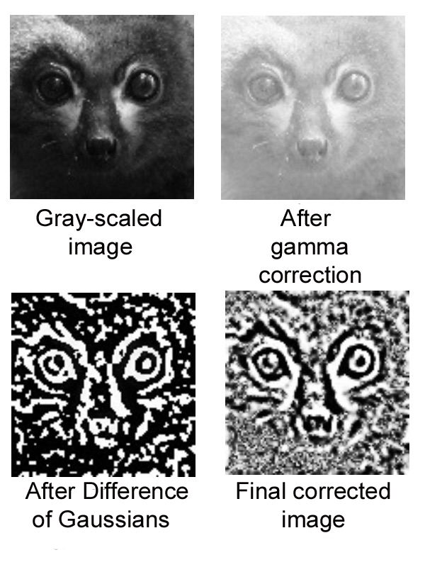 Example of processing carried out on lemur images.