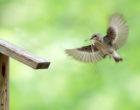 Semi-collared flycatcher female