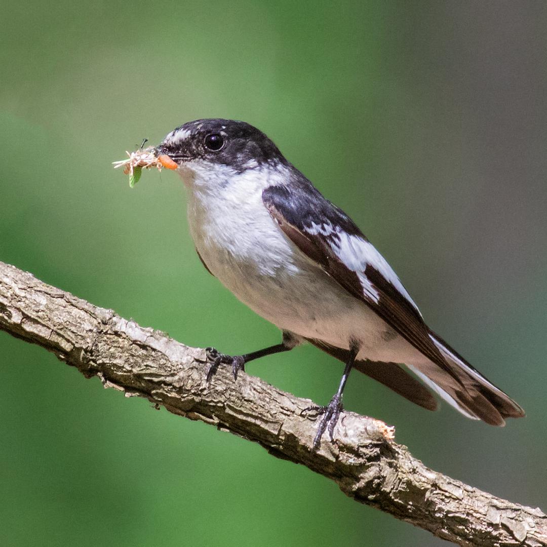 Semi-collared flycatcher male.