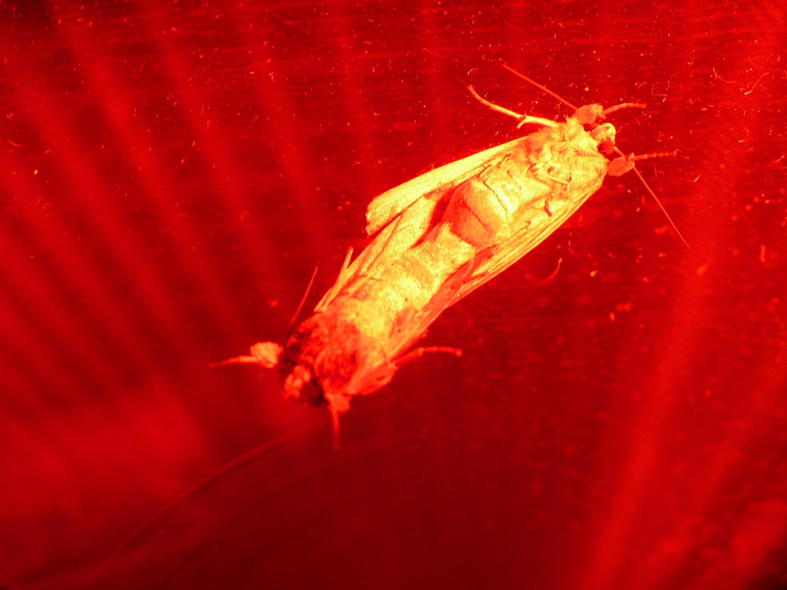 Adult moths mating.