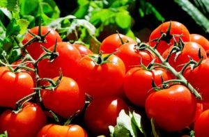 Chloroplasts may help tomatoes withstand the effects of drought
