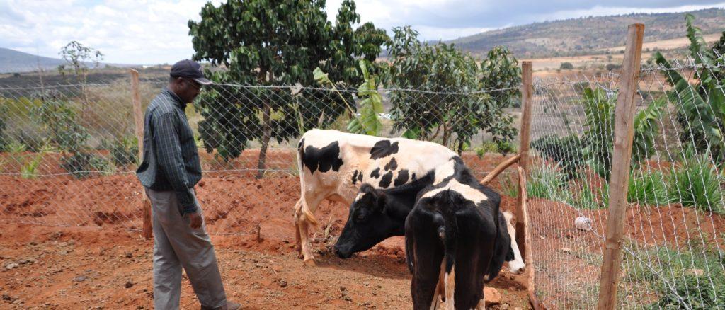 Farmer checking on cattle