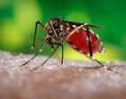 Aedes aegypti by James Gathany
