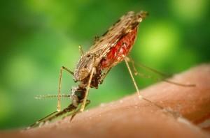 800px-Anopheles_albimanus_mosquito-300x198