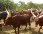 cowsr