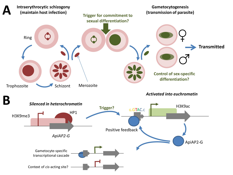 Gametocytogenesis blog