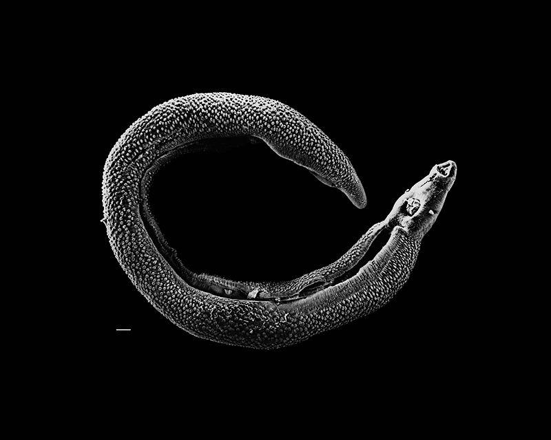 Male schistosome worm, image courtesy of David Williams