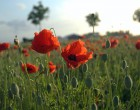 Common poppies ( Papever rhoeas) growing in Flanders, used as a symbol used of remembrance.