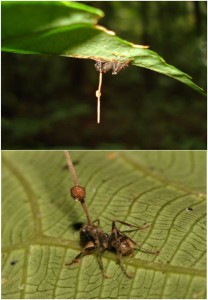 Dead ants infected with Ophiocordyceps unilateralis. Image fromWikimedia commons. Photographer: David Hughes, Maj-Britt Pontoppidan, PLoS ONE