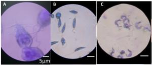 Foldscope-microscopic-images-300x129 9.1