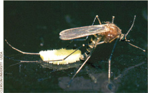Culex pipiens laying eggs from https://peabody.yale.edu/exhibits/bloodsuckers/treatment