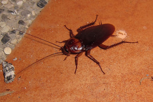 A tropical cockroach