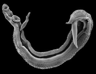 Scanning Electron Image of a Schistosome worm pair – Photo copyright Trustees of the Natural History Museum