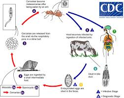 Dicrocoelium dendriticum life cycle. Image Credit: Centre for Disease Control http://www.cdc.gov/dpdx/dicrocoeliasis/index.html