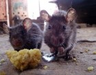 rats-occupy-protests-300×245