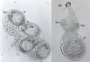 Cysticercoid larvae of the tapeworm Anomotaenia brevis. From https://www.myrmecofourmis.fr/Le-tenia-qui-rend-les-fourmis