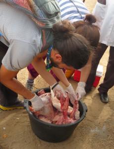 Caption: inspecting offal for schistosomes. Photo credit Elsa Leger