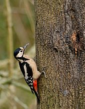 A greater spotted woodpecker: Wikicommons