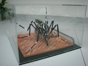 In his spare time, Derric is an artist, who makes models such as this giant Aedes aegypti. I keep a small version of the same that he made for me when I left Oxitec.