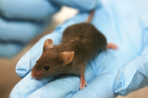 Lab mouse source - Wiki commons