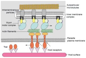 The acto-myosin motor complex. Image from https://www.bio.umass.edu/micro/klingbeil/590s/Reading/soldatirev22004.pdf