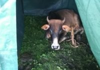Cow in a tent