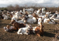Banner_Goats in boma_crop