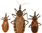 Three_species_of_kissing_bugs